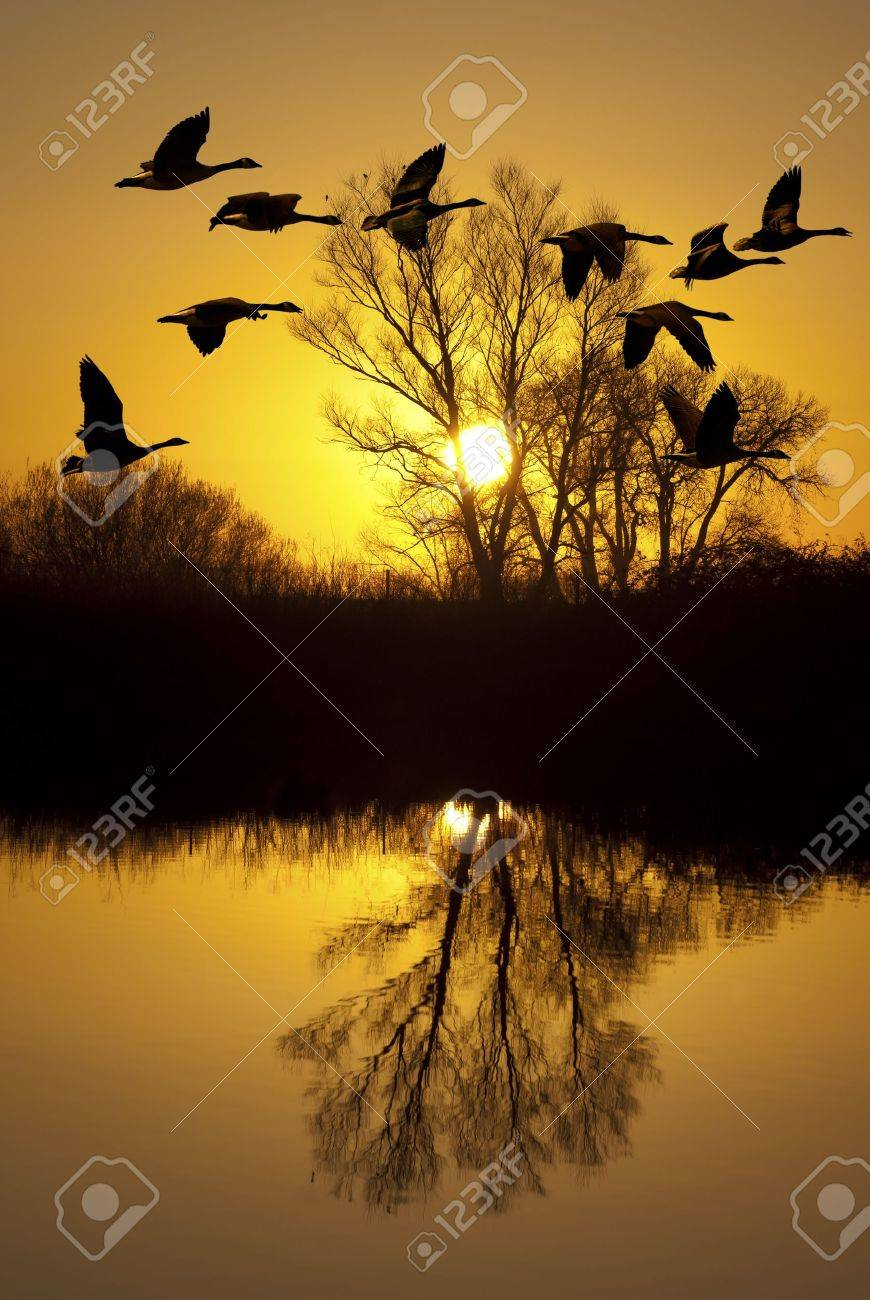 Canadian geese silhouette at sunset, over riparian pond, San Joaquin Delta, California. Stock Photo - 11572204