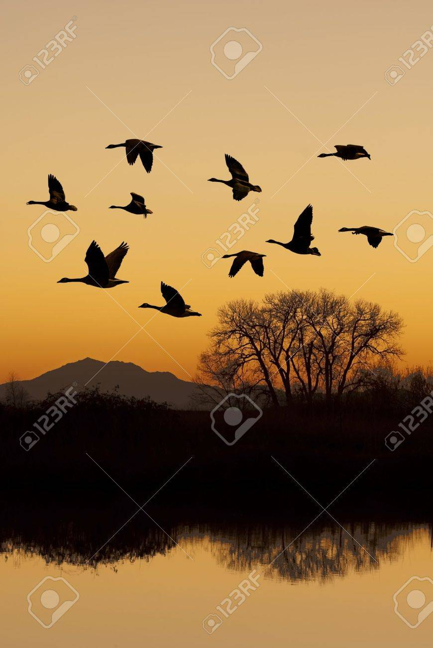 Silhouette of Canadian geese in flight at sunset over wild life refuge, San Joaquin Valley, California. Stock Photo - 11812768
