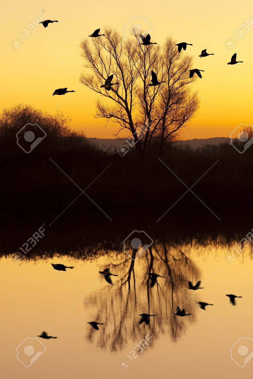 Silhouetted Canadian Geese flying at sundown over quiet Winter pond on wildlife refuge, San Joaquin Valley, California Stock Photo - 15399293