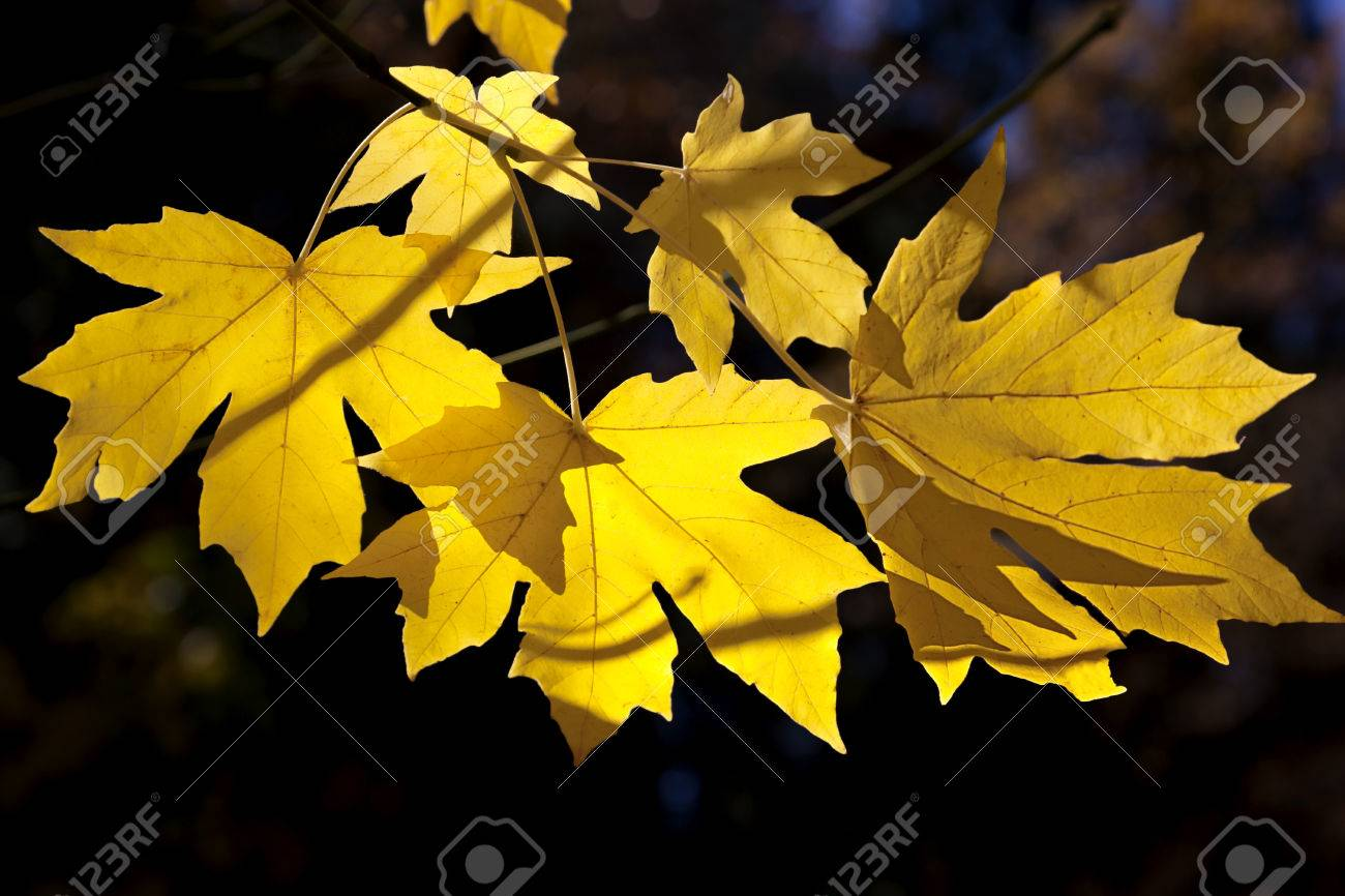 Dramatic backlit view of bright yellow Autumn Big Leaf Maple leaves, Acer Macrophyllum, California. Stock Photo - 24873534
