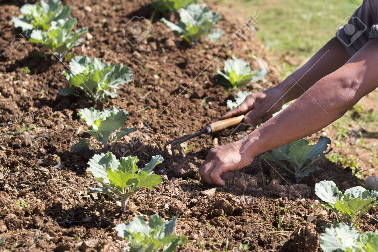 Worker Pull Out Weeds In Vegetable Garden Stock Photo   22864922