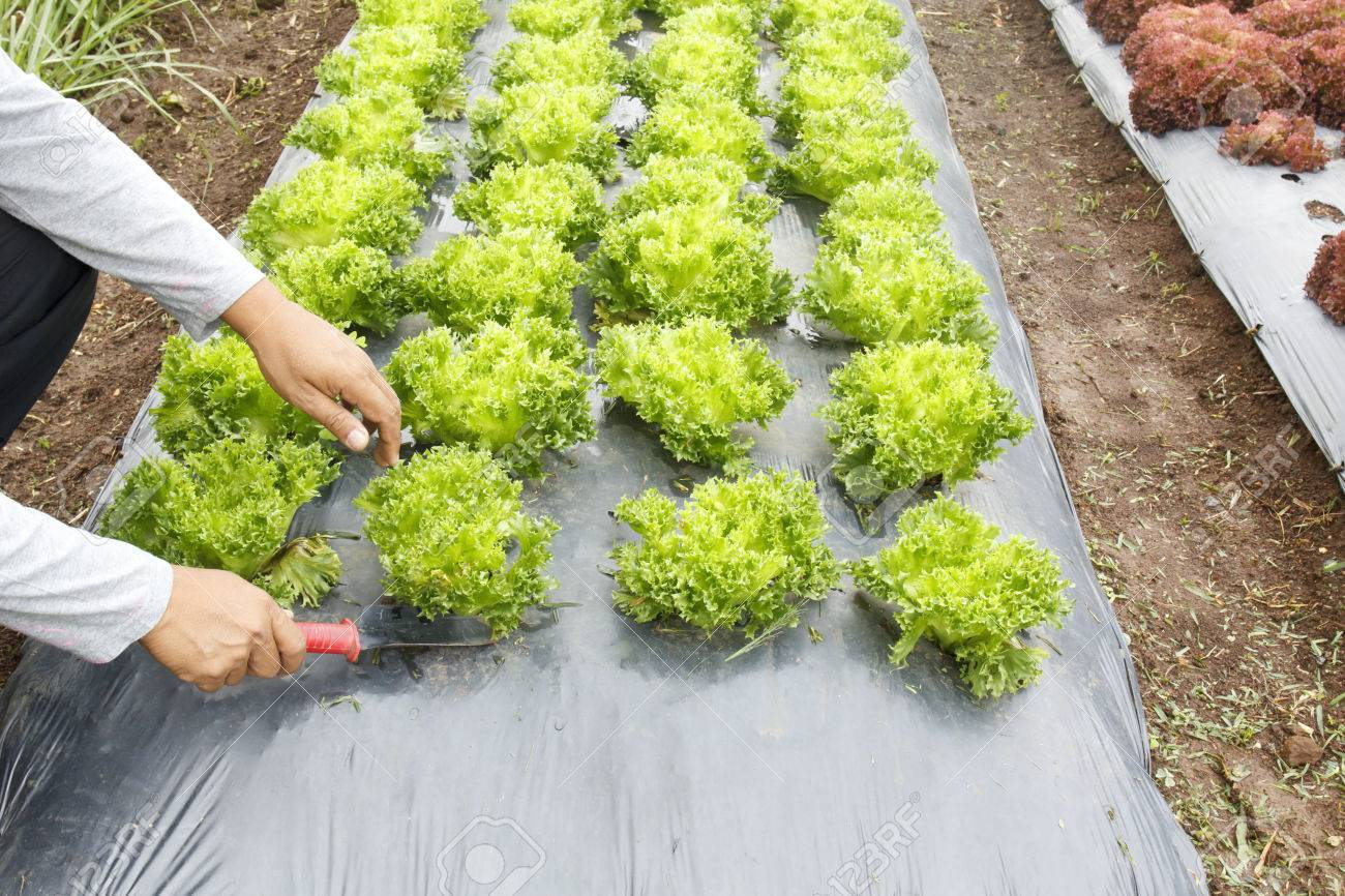 Vegetable Garden with Plastic Ground Cover Or Weed Barrier Stock
