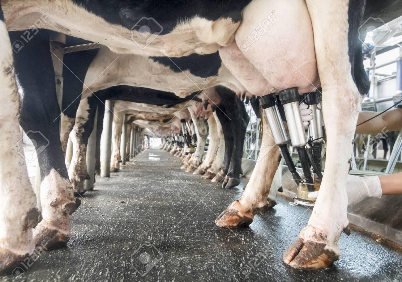 traite de vaches