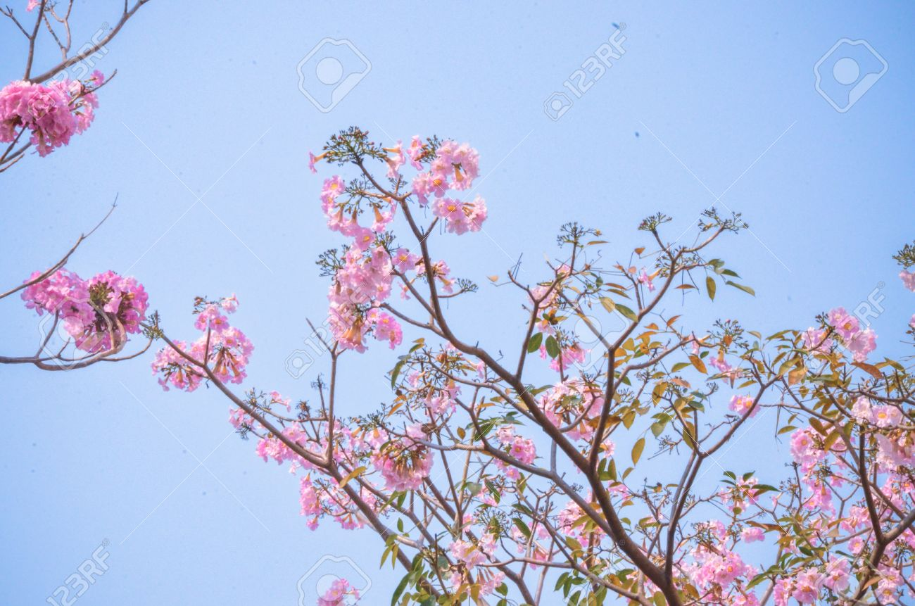 Pink Flower On High Tree Light Blue Sky Summer Stock Photo Picture