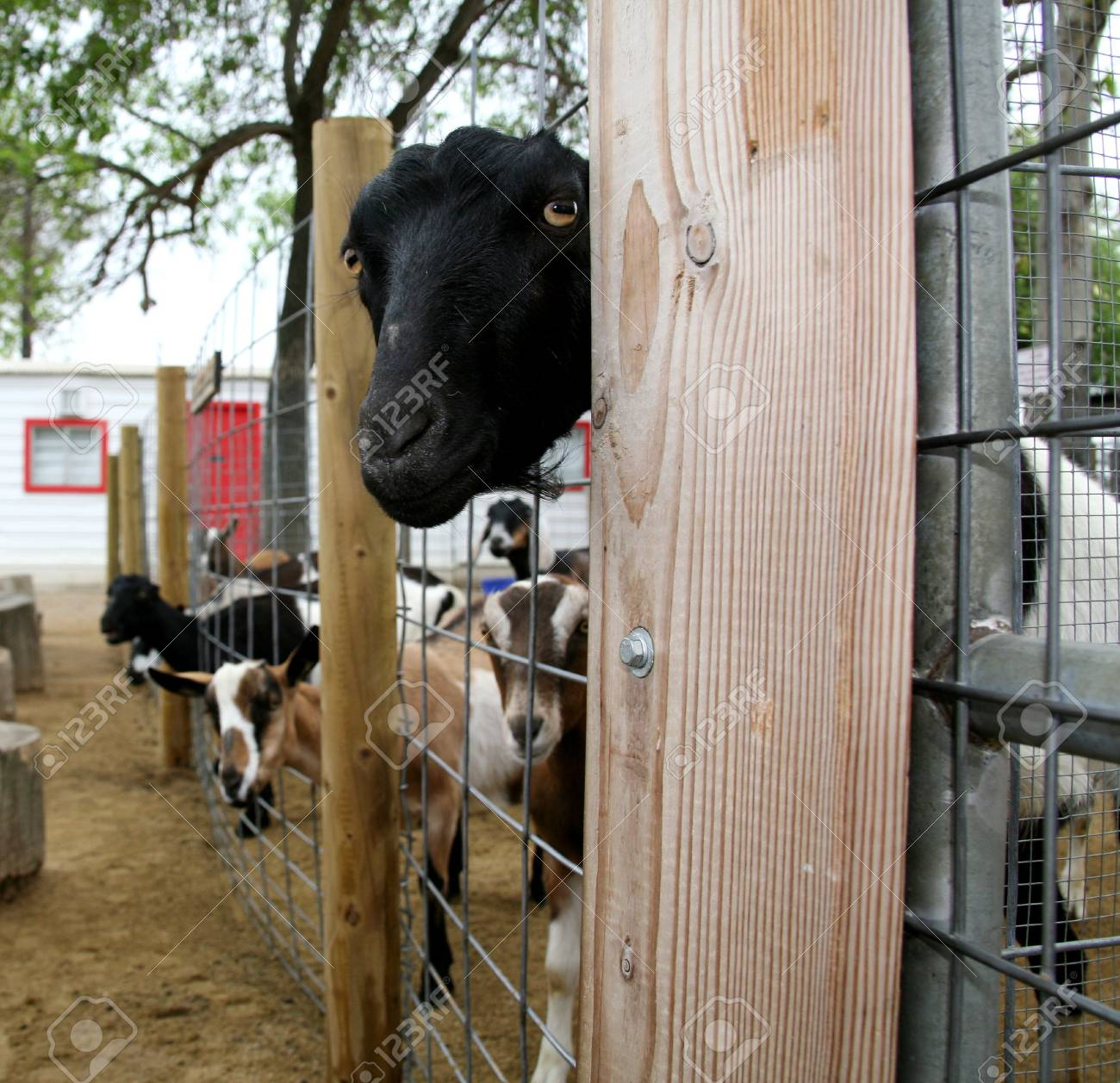 Nosy Goat Looking Through Fence Stock Photo - 395685