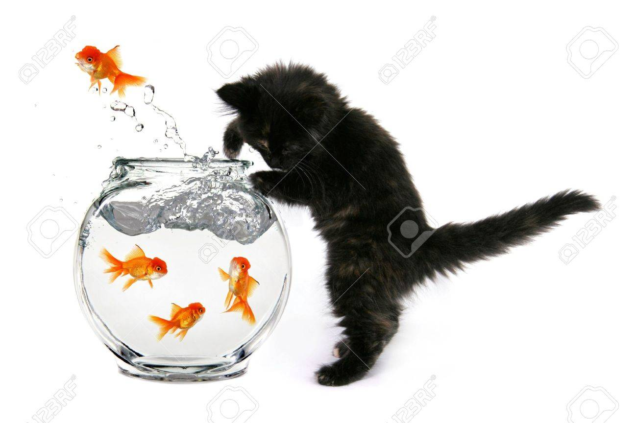 Humorous Kitten Trying to Catch Gold Fish in a Bowl Stock Photo - 962833
