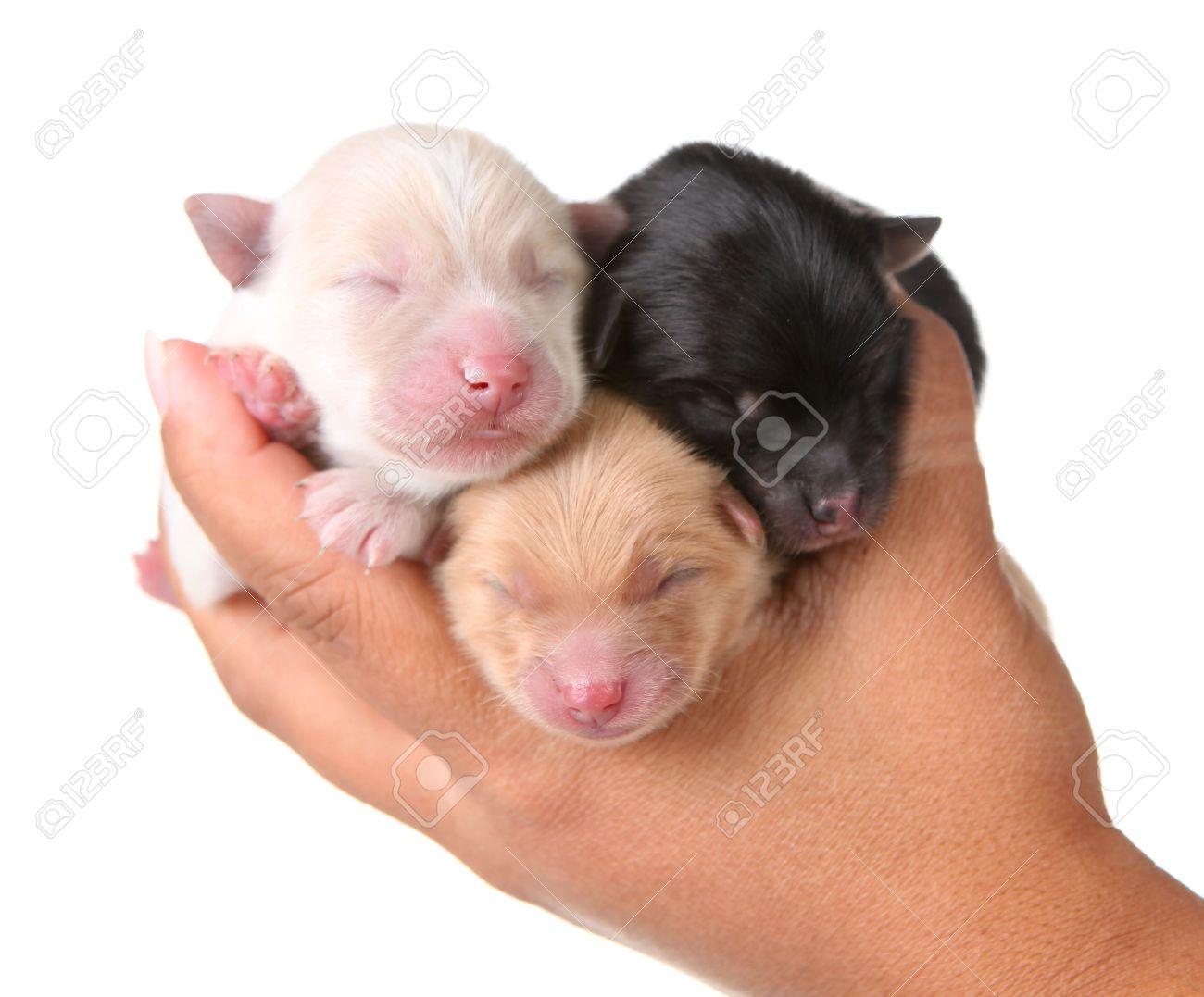 Pomeranian Lessons Tes Teach
