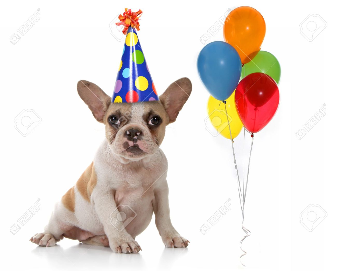 Sitting Puppy Dog With Birthday Party Hat And Balloons Studio Shot Stock Photo