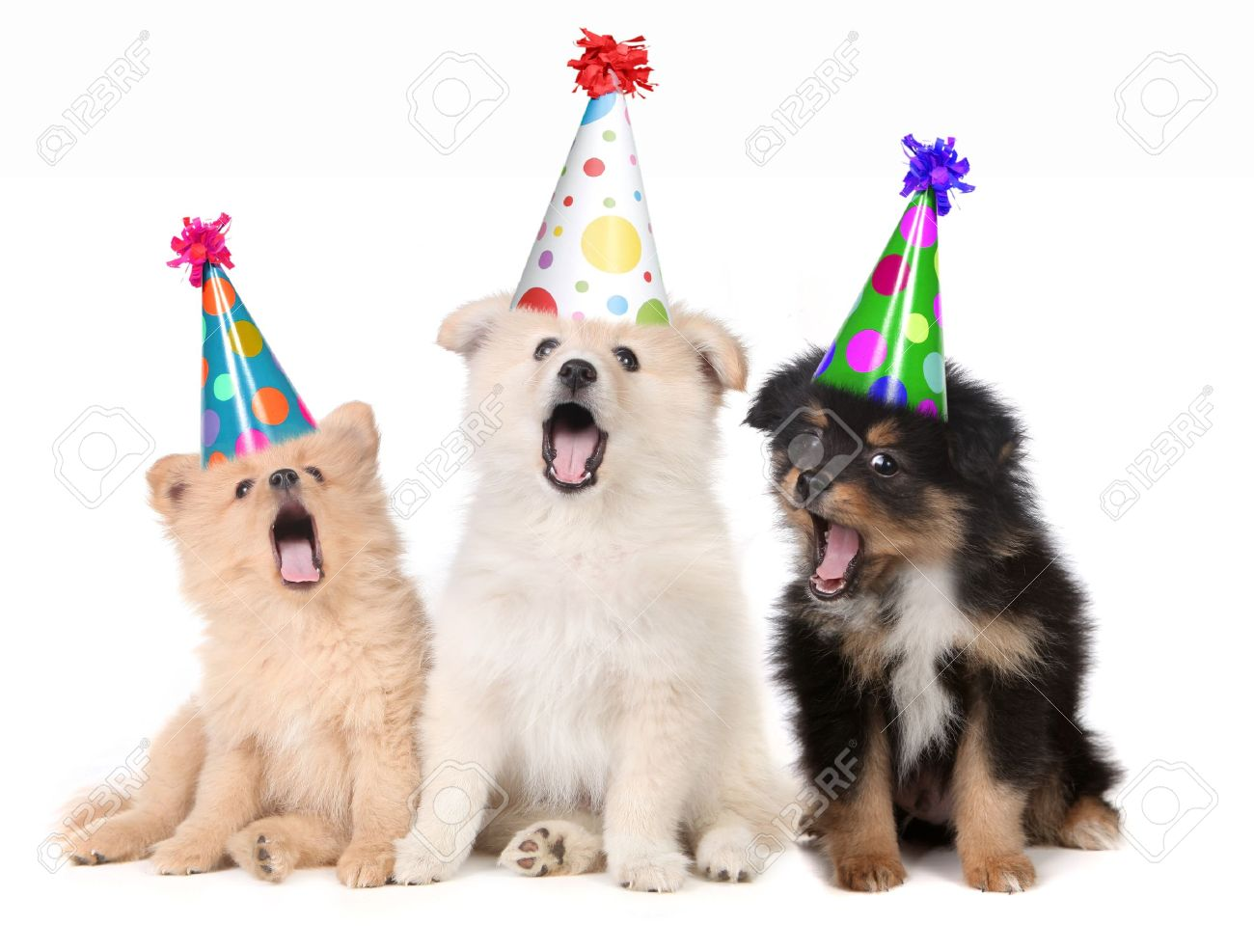 Humorous Puppies Singing Happy Birthday Song Wearing Silly Hats Stock Photo