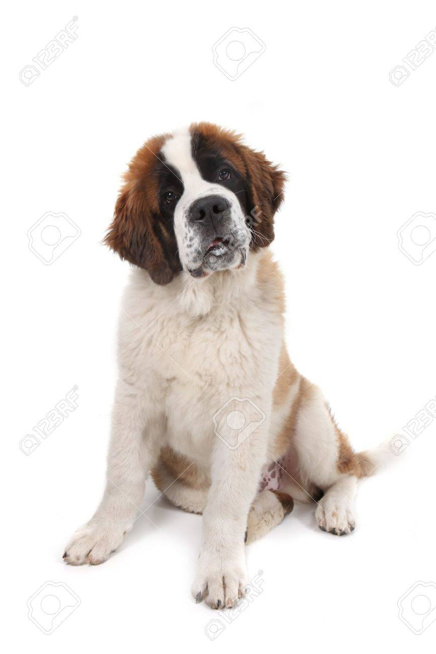 Curious Saint Bernard Puppy Sitting Down With Head Tilted in