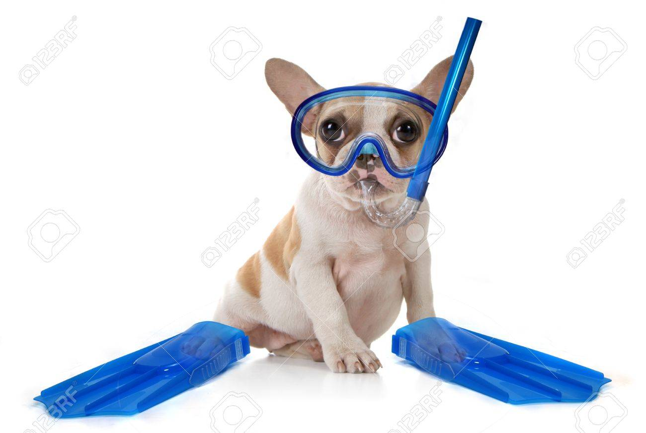 Sitting Puppy Dog With Snorkeling Gear of a Mask With Fins. Studio Shot Stock Photo - 8059270