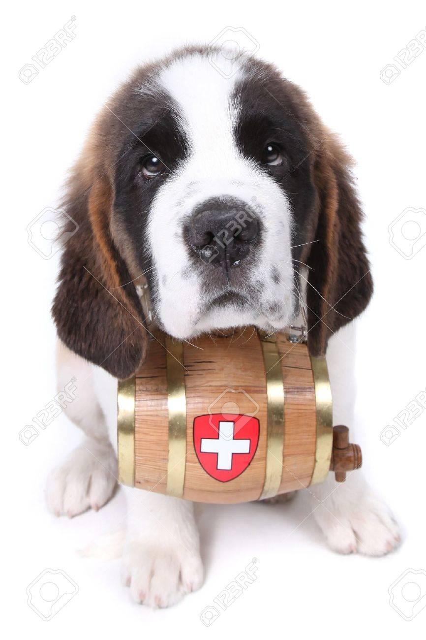 Saint Bernard puppy with a rescue barrel around the neck