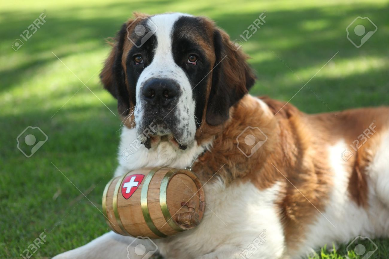 Saint Bernard Puppy Dog Outdoors In The Grass Stock Photo Picture