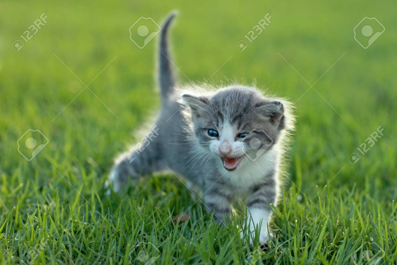 Adorable Baby Kitten Outdoors in Grass Stock Photo - 15162396