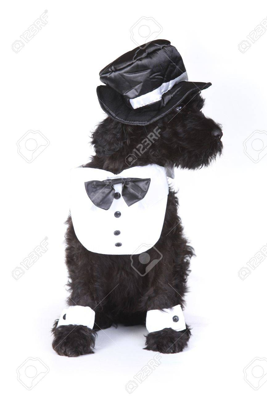 Black Russian Terrier Puppy Dog Butler on White Background Stock Photo - 17499540