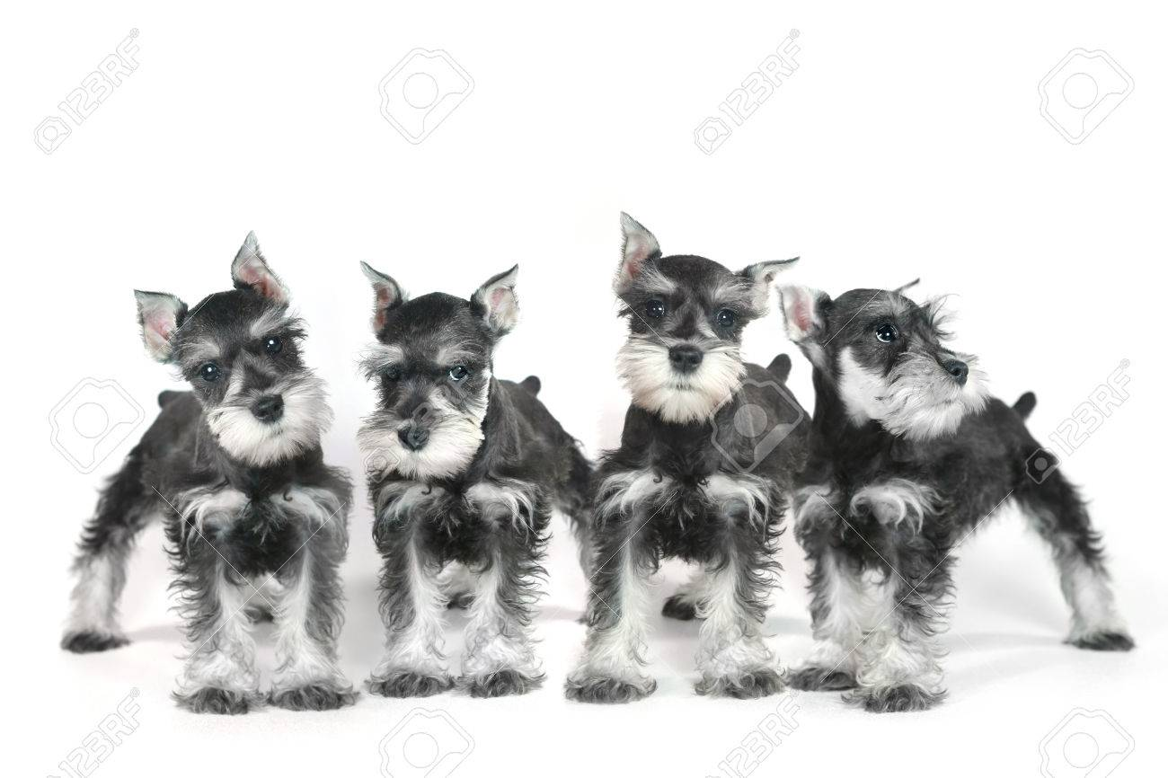Adorable And Cute Baby Miniature Schnauzer Puppy Dog On White Stock