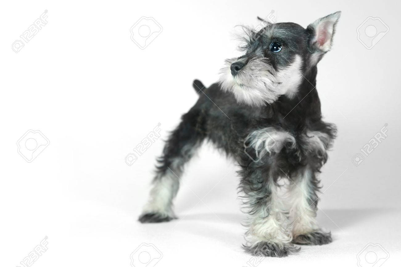 Adorable And Cute Baby Miniature Schnauzer Puppy Dog On White Stock Photo Picture And Royalty Free Image Image 25600076