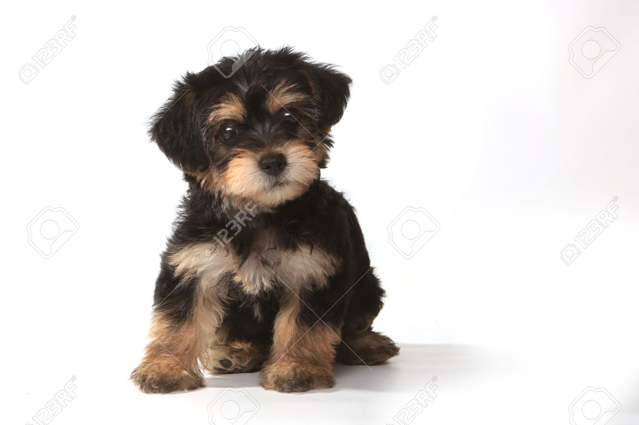 Miniature Teacup Yorkie Puppy On White Background Stock Photo