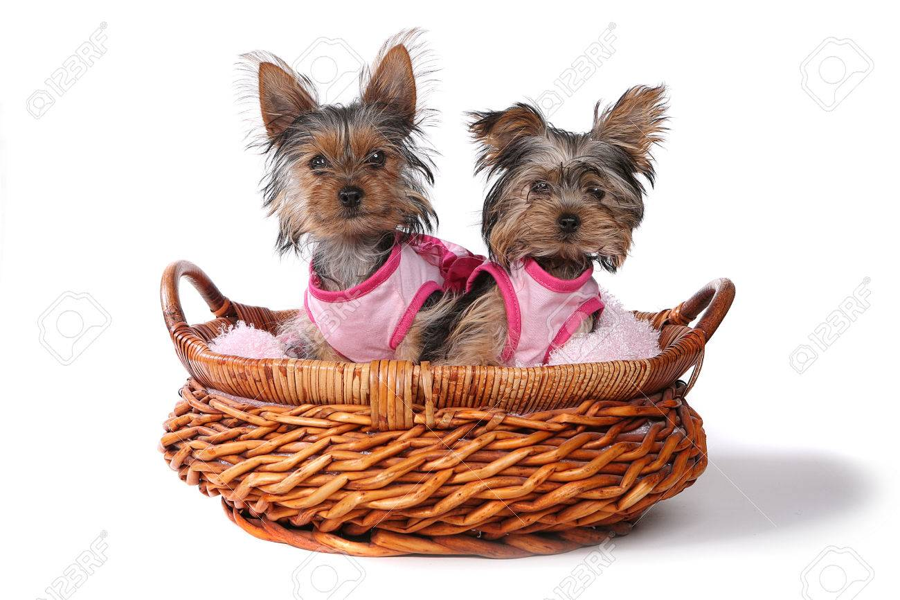 Cute Yorkshire Terrier Puppies Dressed Up In Pink Stock Photo