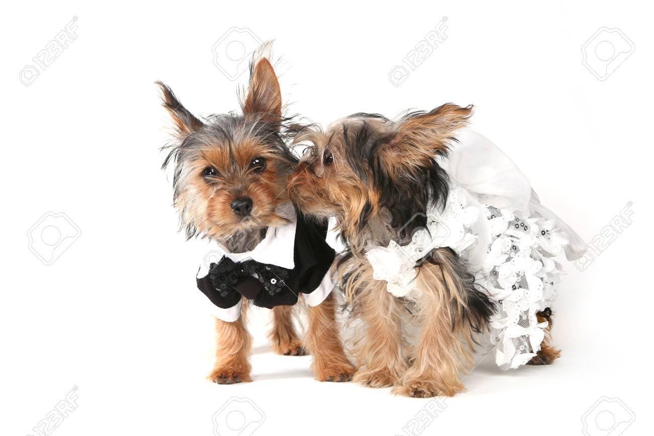 Brautpaar Yorkshire Terrier Welpen Auf Weissem Hintergrund