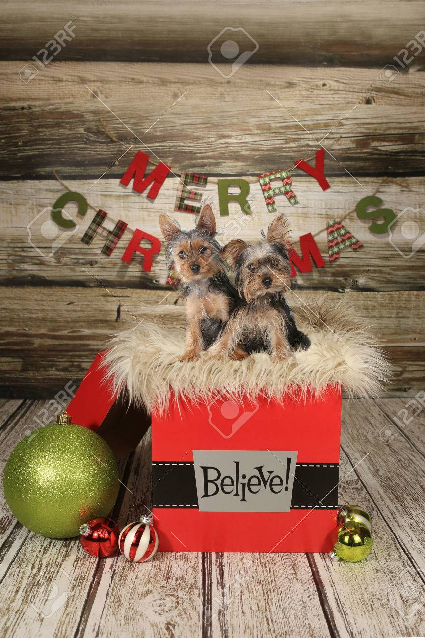 Yorkie Puppies On A Christmas Themed Background Stock Photo Picture