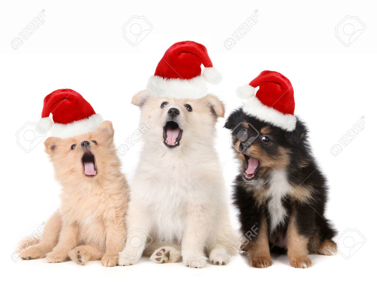 Christmas Puppies.Singing Christmas Puppies Wearing Santa Hats On White