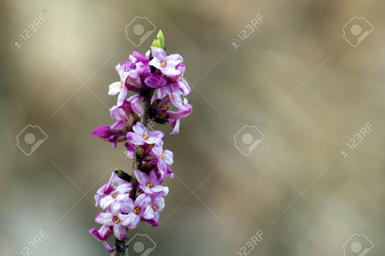 The beautiful Mezereon  Daphne mezereum   flowering on bare stem in early spring  A very toxic plant native to most of Europe and western Asia, here wild in Uppland, Sweden Stock Photo - 19476580