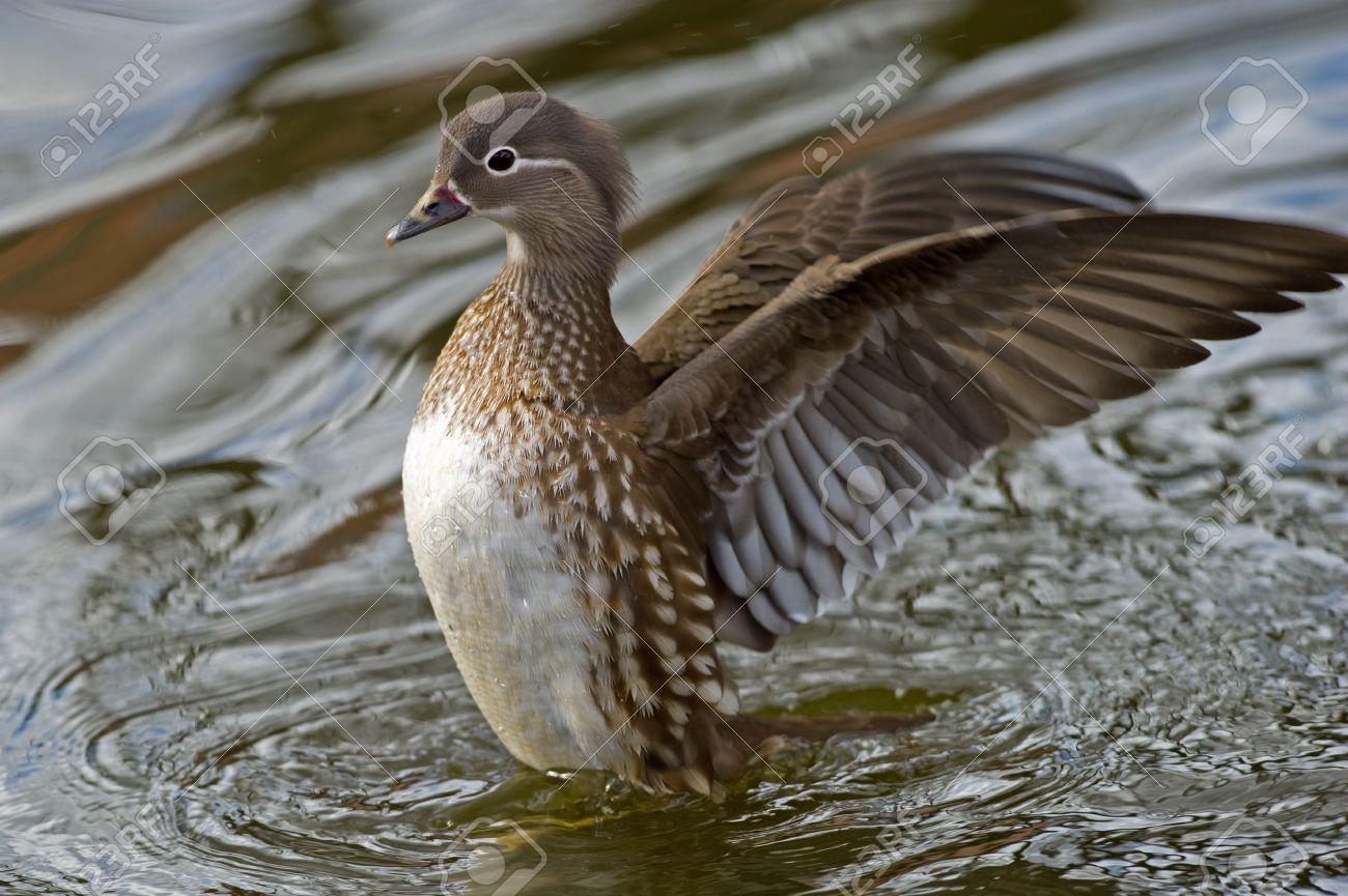 The Beautiful Female Mandarin Duck Aix Galericulata Airing.. Stock ...