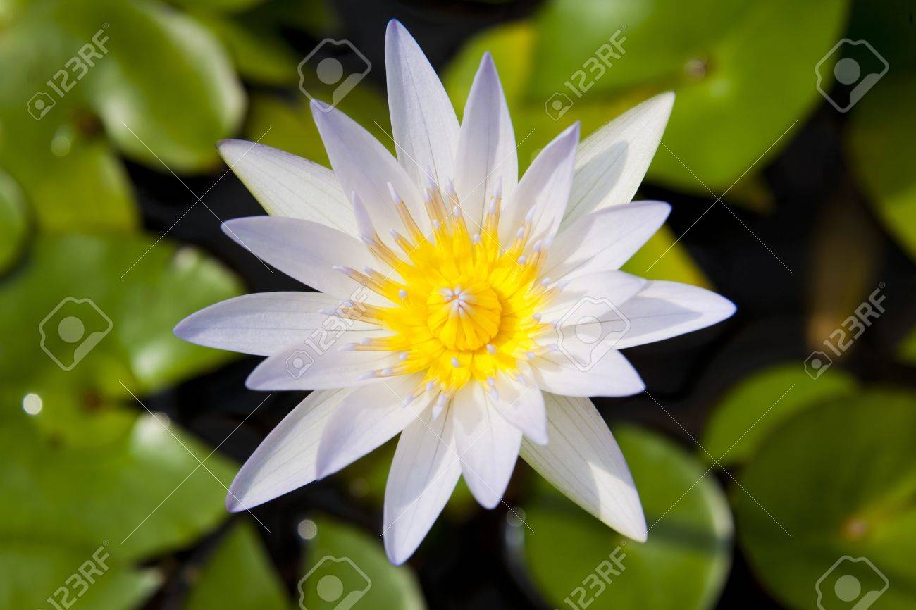 white and yellow water lilly flower open absorbing sunlight stock