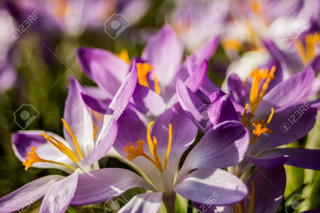 Crocus Plural Crocuses Or Croci Is A Genus Of Flowering Plants