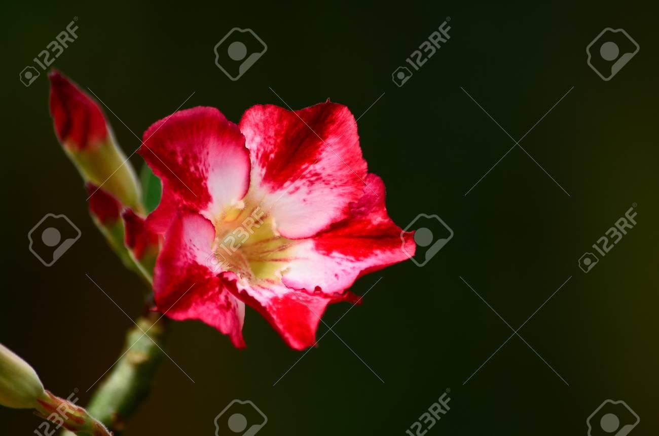 Desert rose flower closeup, isolated on black background Stock Photo - 15468200