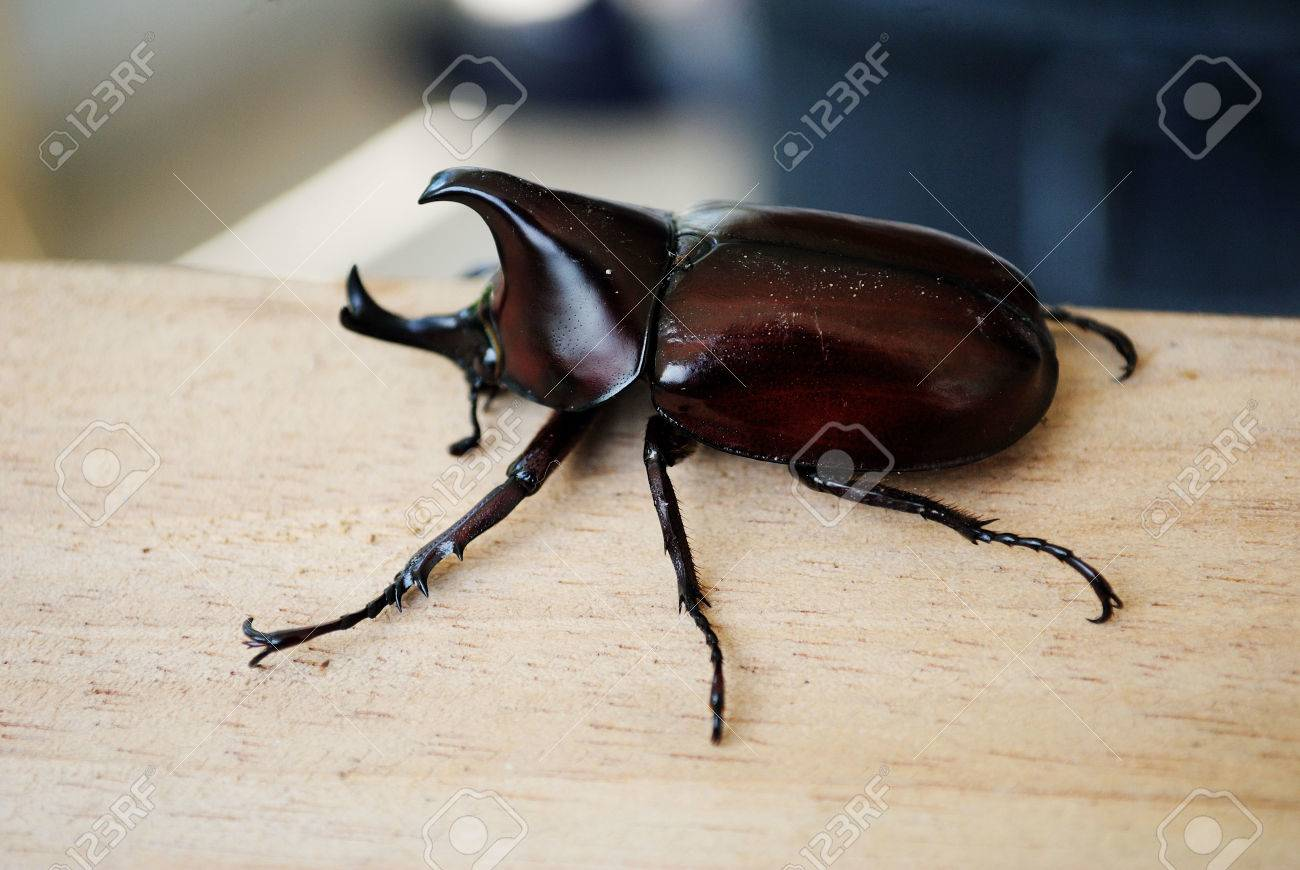 rhinoceros beetle most are black gray or green in color and