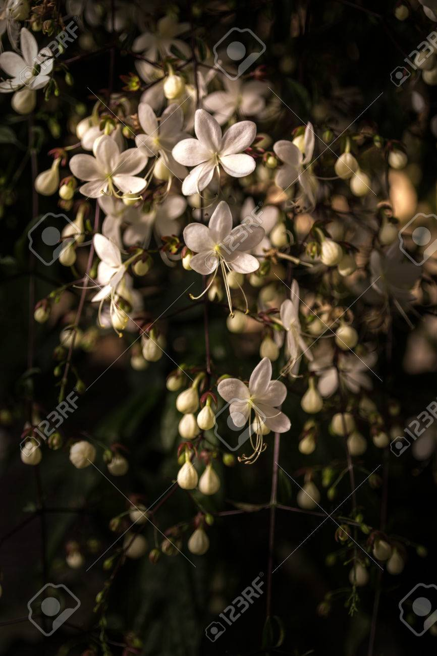 Beautiful white flowers bloom in winter clerodendrum flower stock beautiful white flowers bloom in winter clerodendrum flower stock photo 36463895 mightylinksfo