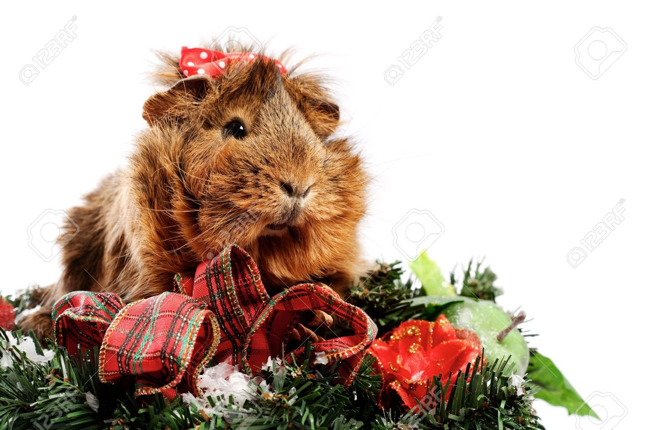 Funny Animal. Guinea Pig Christmas Portrait Stock Photo, Picture ...