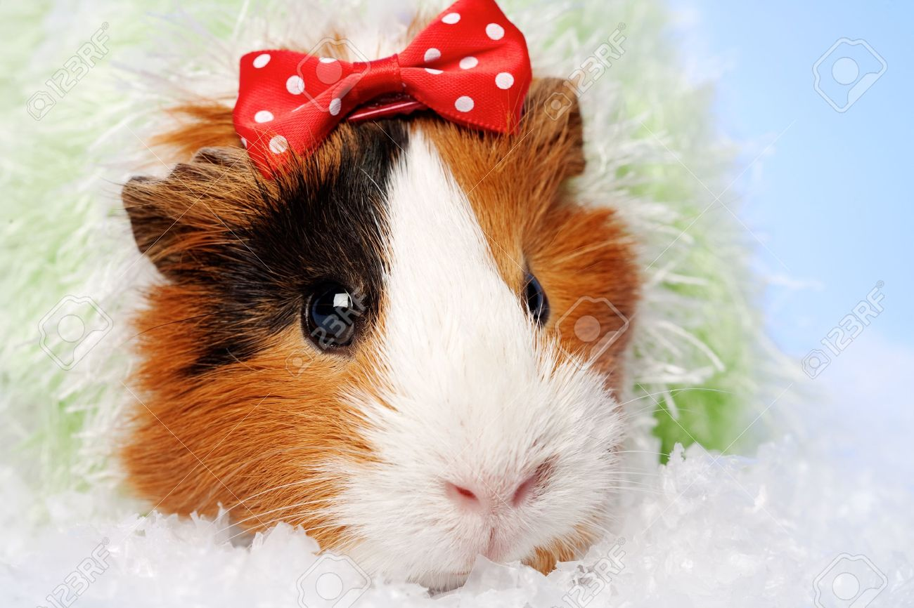 Funny Animals. Guinea Pig Christmas Portrait Stock Photo, Picture ...