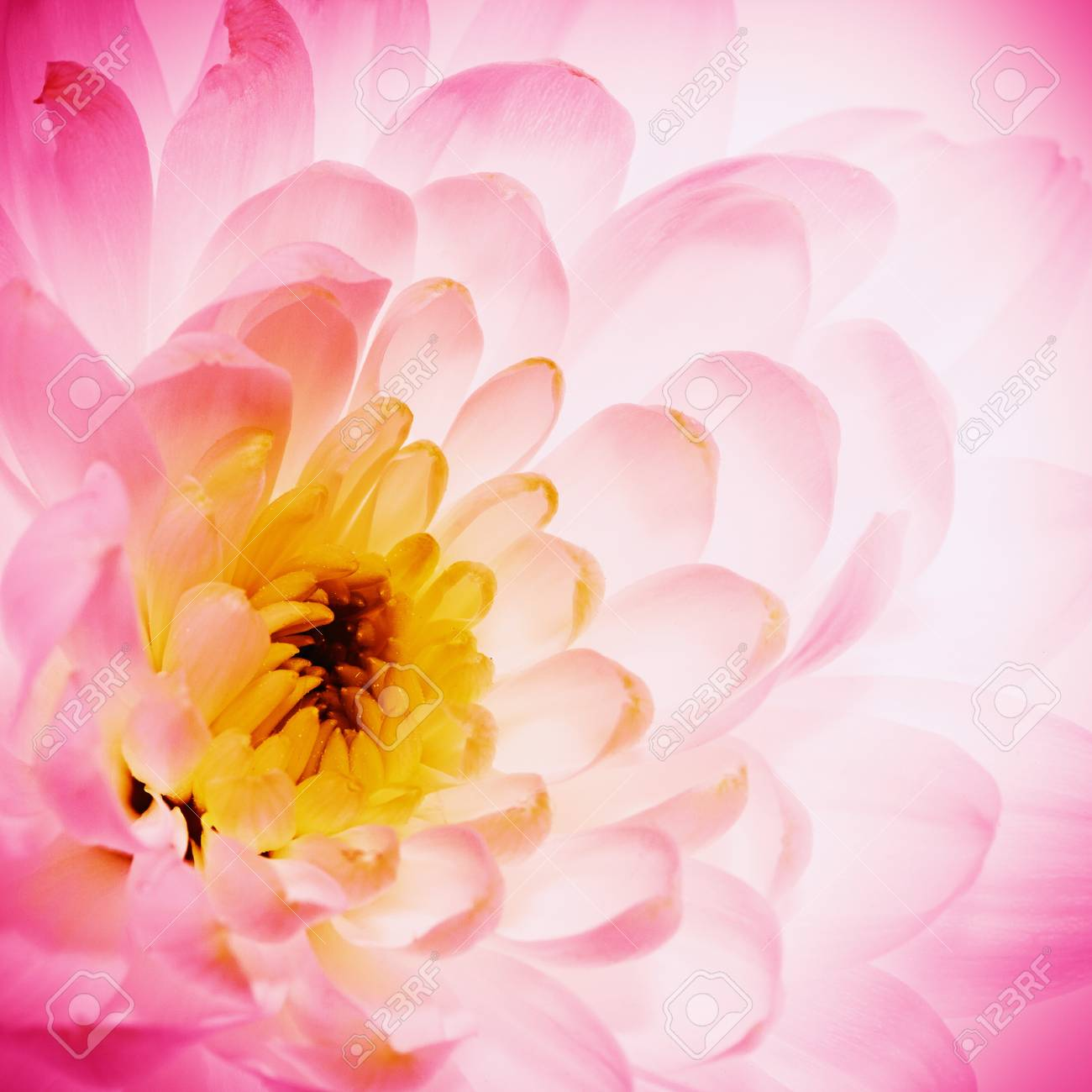 Lotus Flower Petals As Abstract Natural Backgrounds Stock Photo
