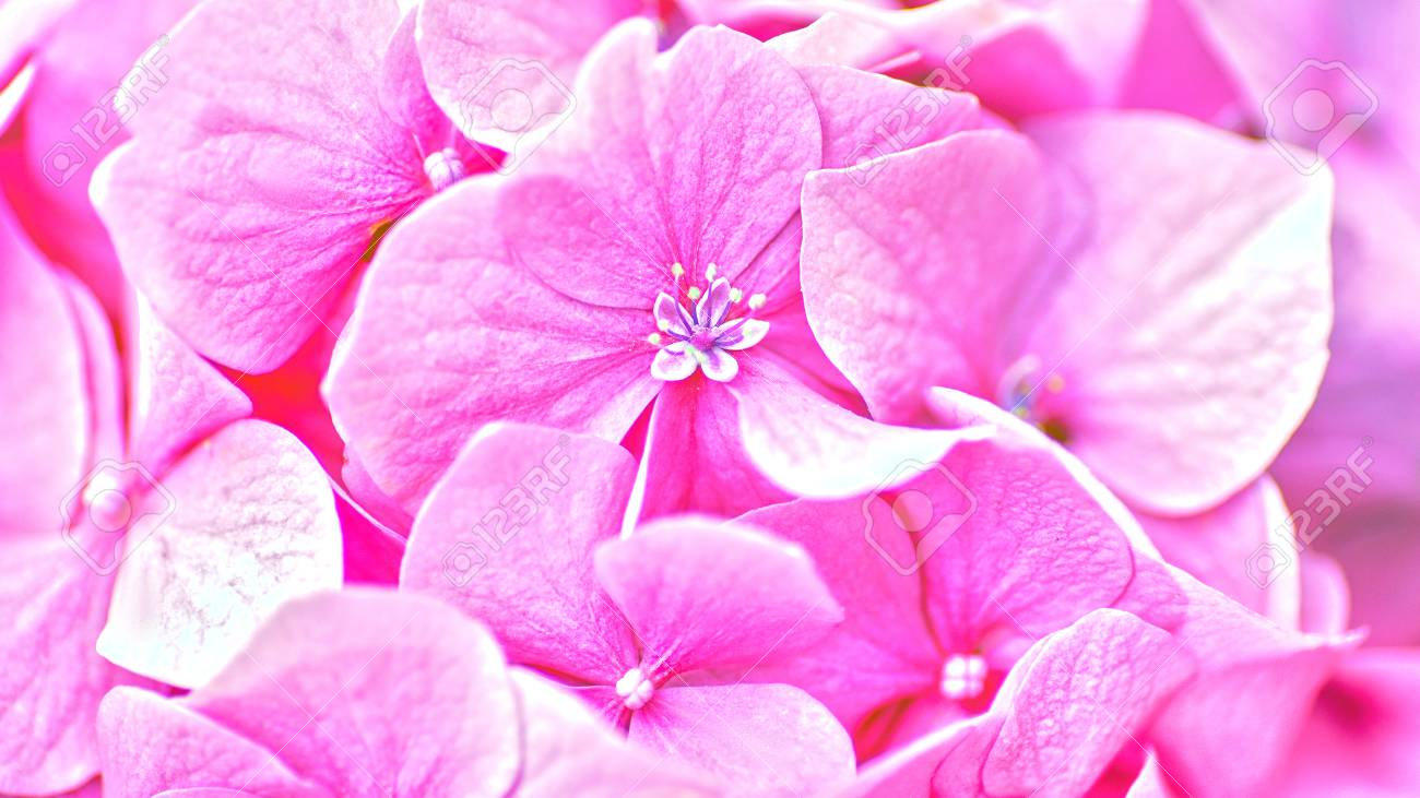 Pink Hydrangea Flower Abstract Floral Backgrounds Stock Photo