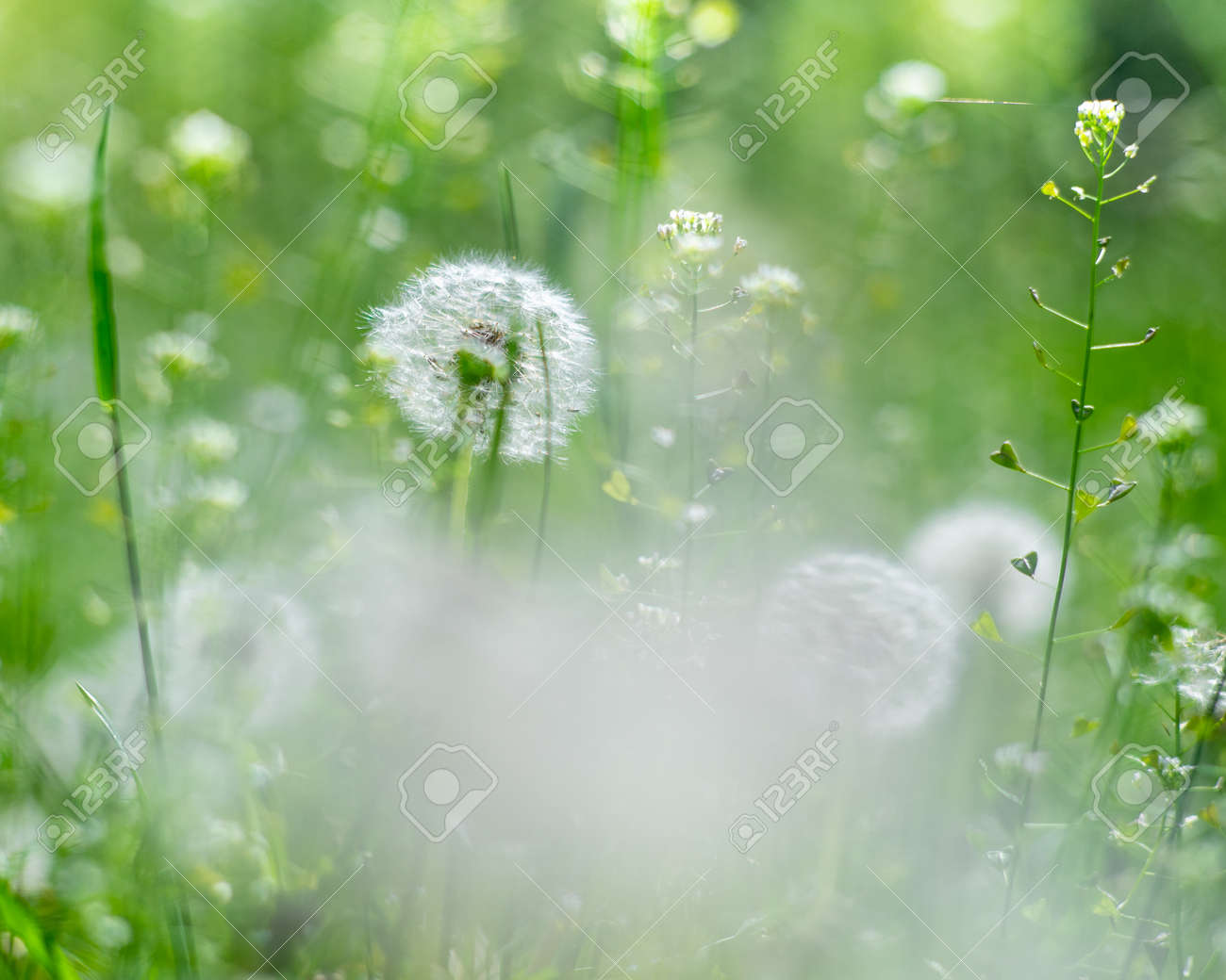Dandelion meadow. Seasonal natural backgrounds with shallow depth of field - 159256700