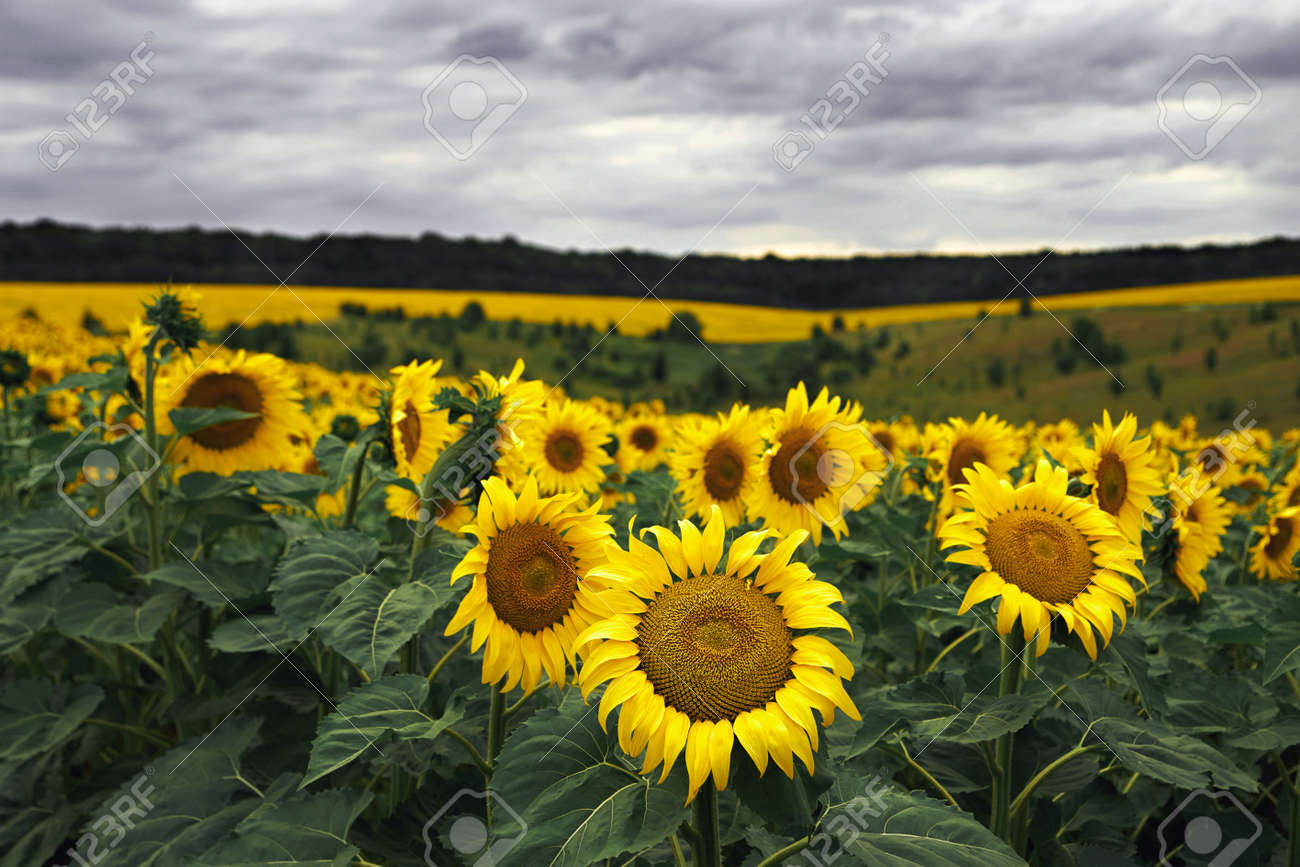 Summer on the sunflowers field. Agriculture and rural background - 159256702