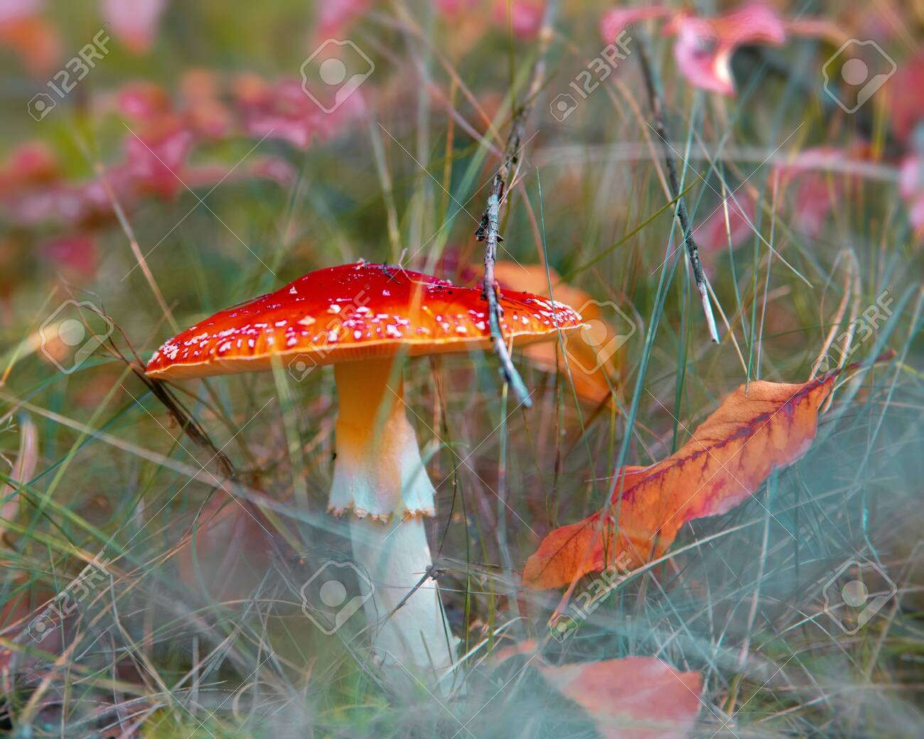 Amonita mushroom in the forest. Beautiful fall backgrounds with fly agaric - 159256722