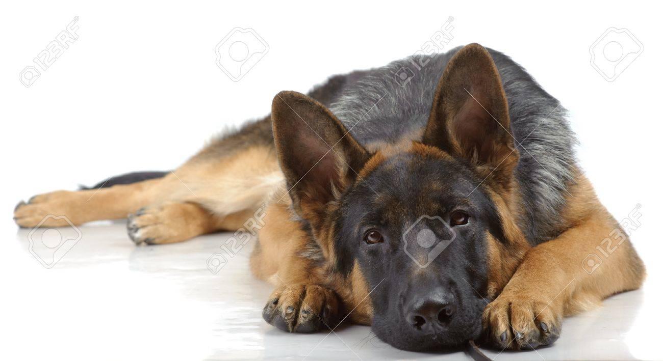 German shepherd laying isolated on white Stock Photo - 10437134