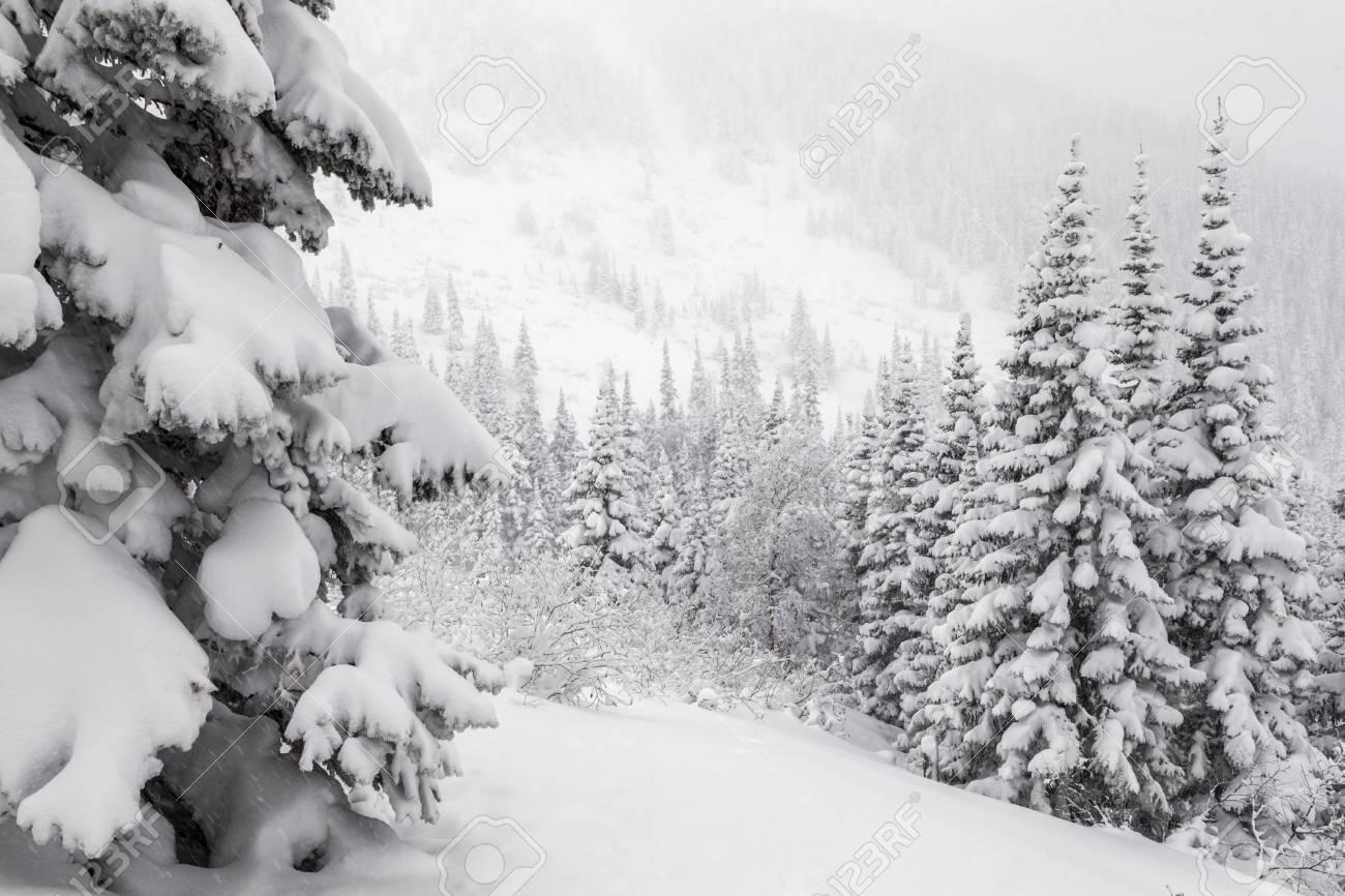 Sapin Enneigé Dans Les Montagnes