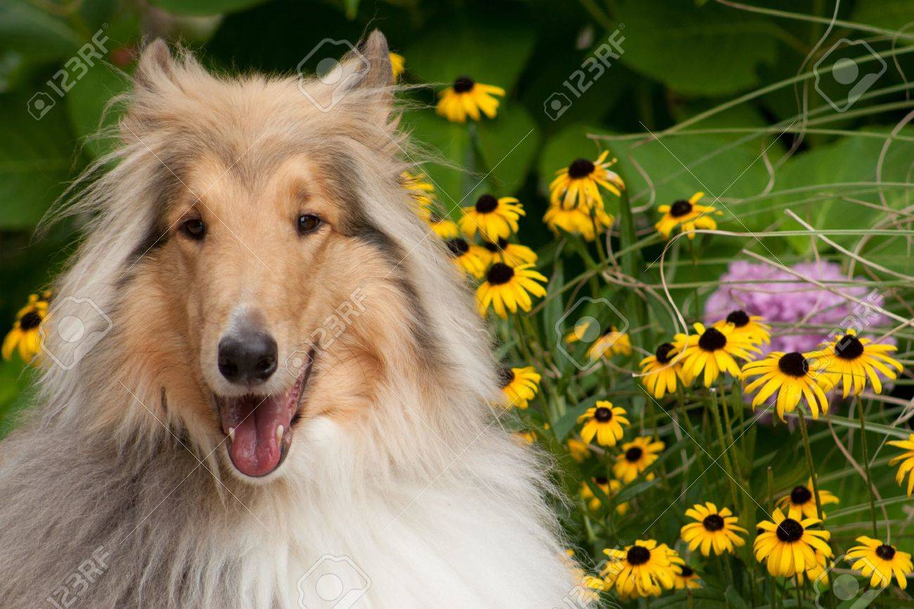 Happy Collie Sitting with Flowers Stock Photo - 10282669