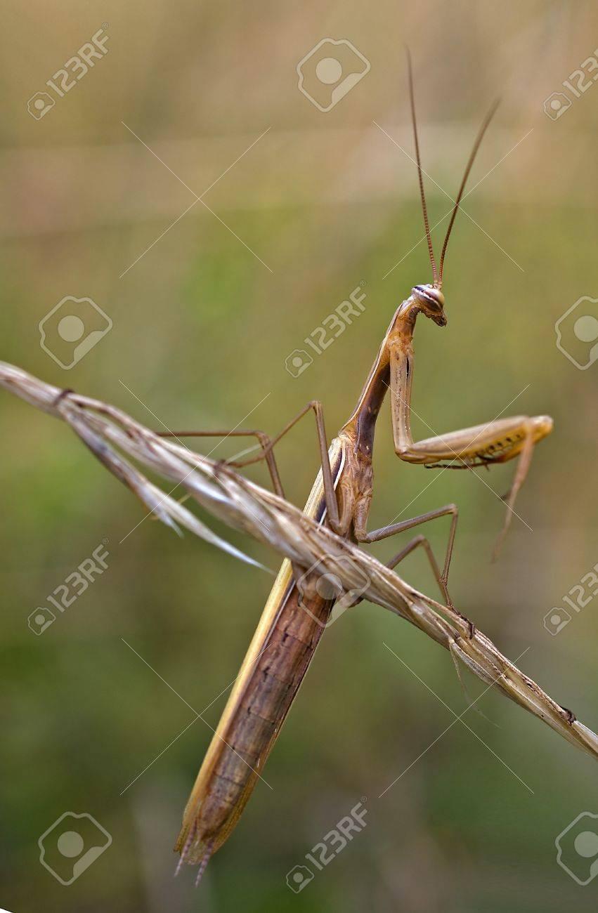 Brown Praying Mantis Mantis Religiosa Stock Photo Picture And