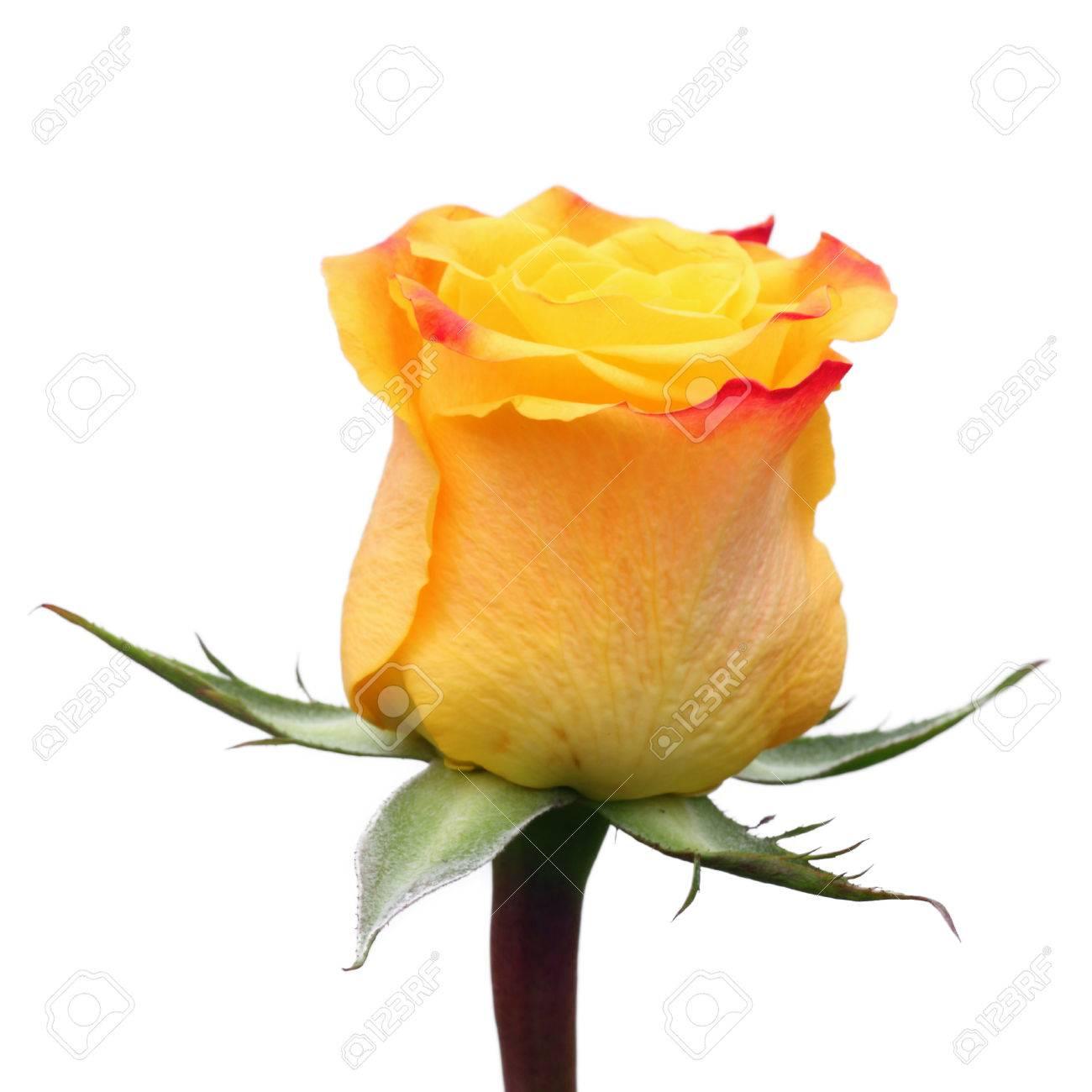 Yellow rose Stock Photo - 22316288