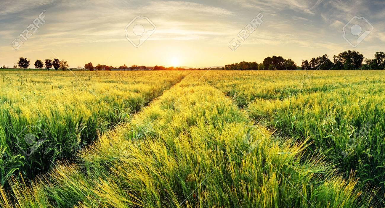 Wheat field landscape with path in the sunset time - 53131325