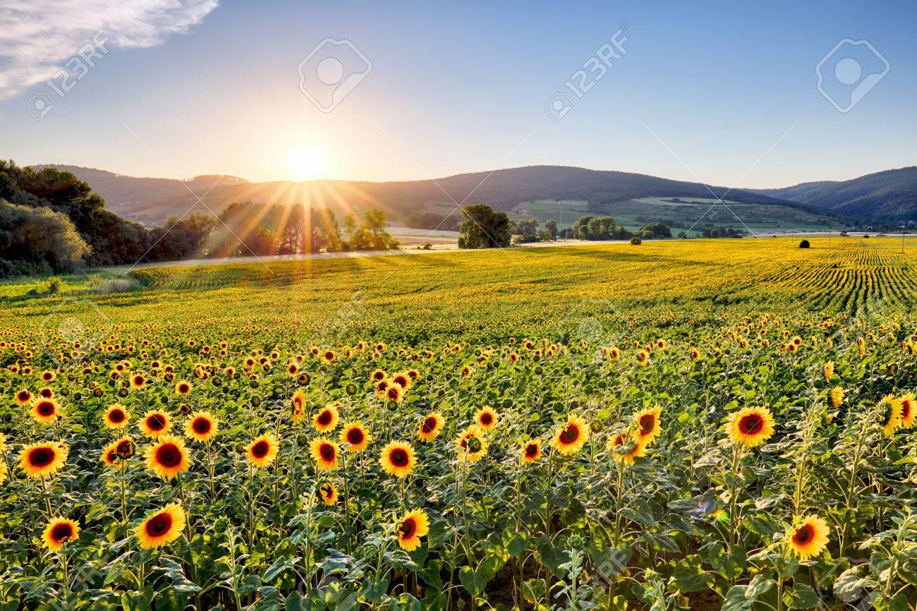 Sunflower field at sunset - 60103724