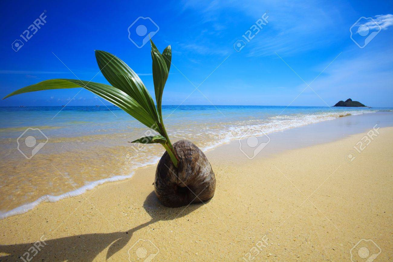 A sprouting coconut washes up on the shore of a tropical beach in Hawaii Stock Photo - 4866736