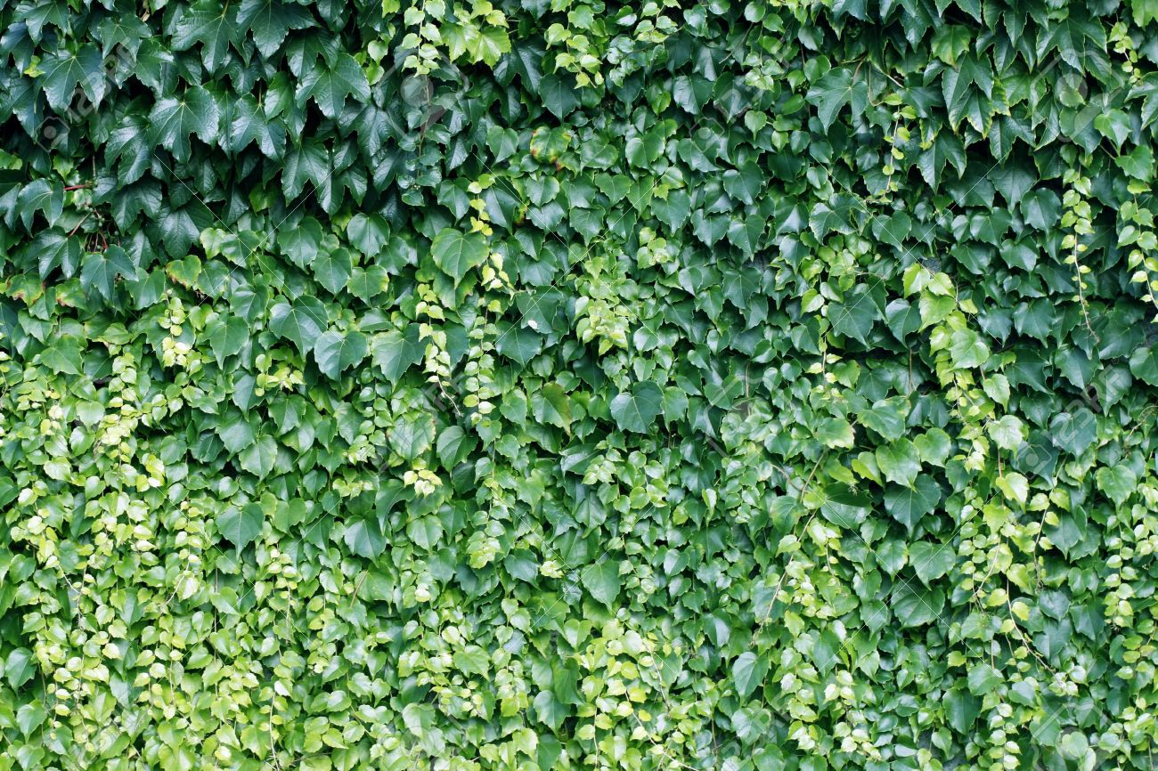 Natural background from climbing plants Stock Photo - 13067654