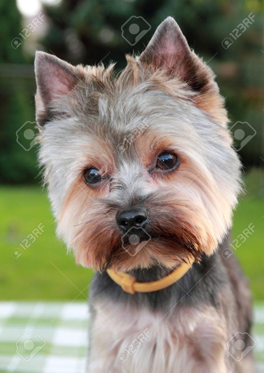 Banque d\u0027images , Doux chiot Yorkshire Terrier, après après une visite chez  le coiffeur